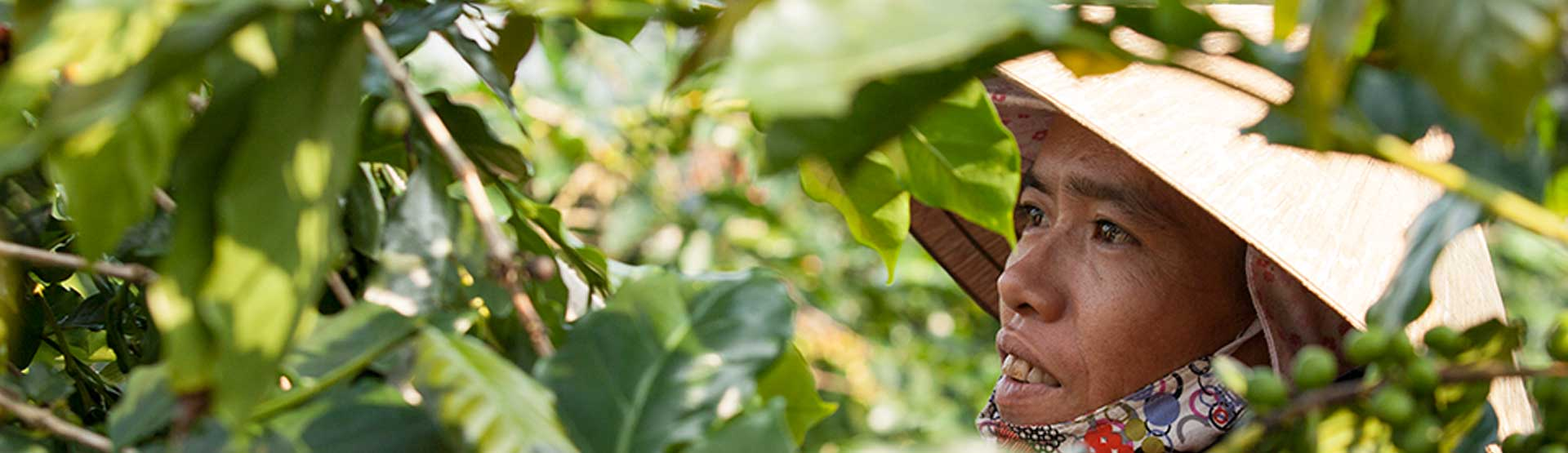 Vietnamese coffee farmers harvesting Oriberry fair-trade | direct-trade coffee