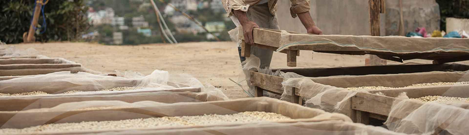 Sản xuất cà phê nguyên chất Oriberry